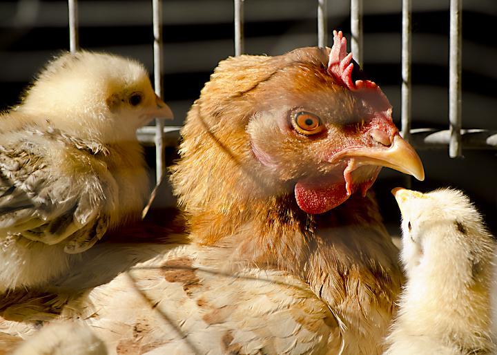 Белореченская птицефабрика приобретает племенную птицефабрику в Кореновском районе