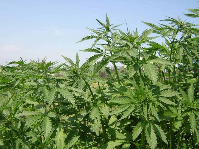 8,5 лет колонии за 10 граммов марихуаны