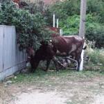 Белореченск, Рязанская, коровы на улицах